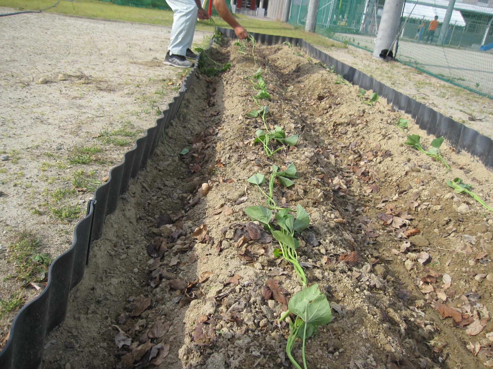 5/30(火)プラザ畑にさつまいもの苗を植えたよ